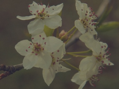 BLOSSOMS 4