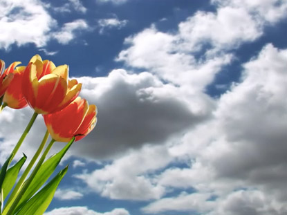 MOVING CLOUDS AND TULIPS