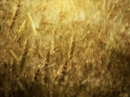 WHEAT FIELD MOTION BACKGROUND