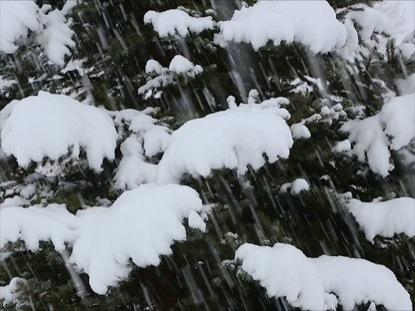 SNOWY PINE TREE LOOP