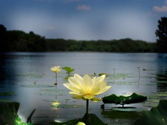 WATER LILLIES 1