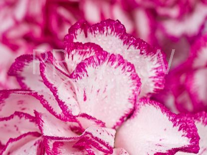 MOM'S PINK CARNATIONS