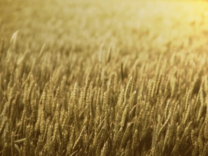 WHEAT FIELD GOLDEN