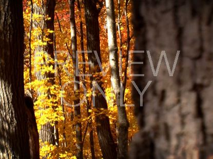 FALL FOOTAGE GOLDEN FOREST