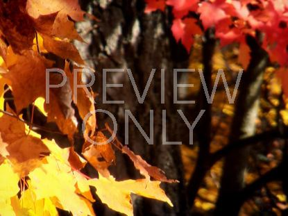 FALL FOOTAGE LEAVES CLOSEUP