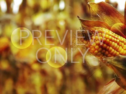 CORN BACKGROUND STILL