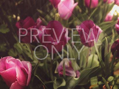 FRESH FLOWERS PINK TULIPS STILL