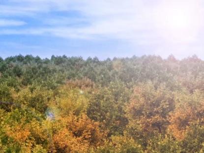 FALL TREE LANDSCAPE