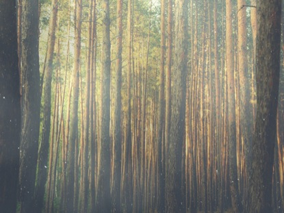 FOREST MORNING BLANK