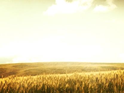 GRASSY MEADOW WHEAT