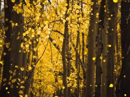 AUTUMN GOLDEN TREES