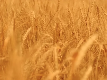 GOLDEN WHEAT BACKGROUND