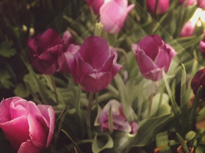 FRESH FLOWERS PINK TULIPS