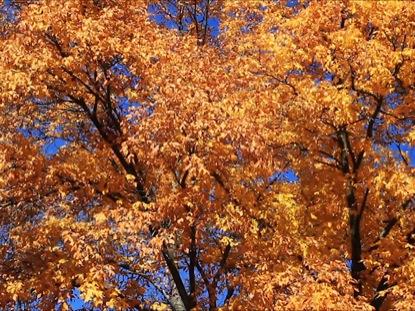 BIG YELLOW TREES