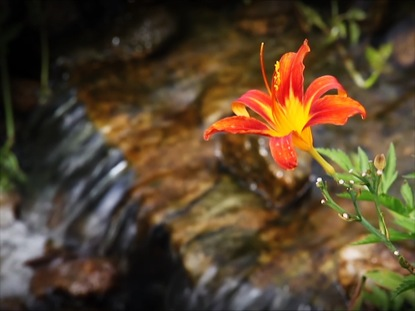 DAY LILY STREAM LOOP