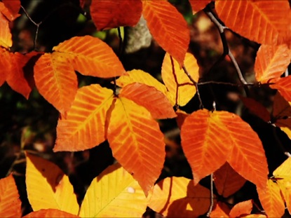 ORANGE YELLOW LEAVES