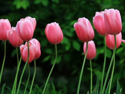 PINK TULIPS IN THE BREEZE