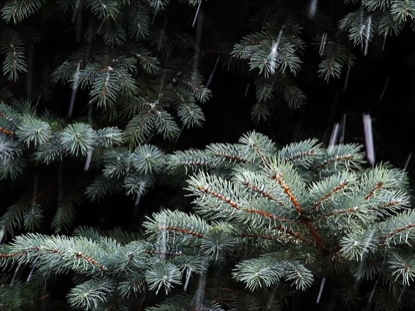 SPRUCE AND SNOWFALL