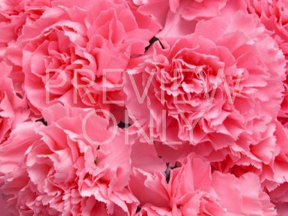 CARNATION FOR MOM