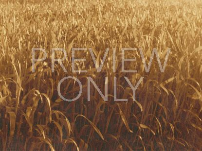 GOLDEN HARVEST FIELD-STILL