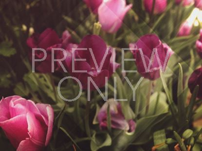 FRESH FLOWERS PINK TULIPS STILL